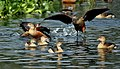Lesser Whistling-ducks- Playing I IMG 1003.jpg