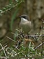 Lesser Whitethroat (Sylvia curruca) (29321309444).jpg