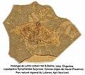 Lethe corbieri, Oligocène, Holotype.jpeg