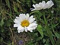 Leucanthemum atratum Wurzeralm.jpg