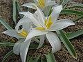 Leucocrinum montanum-4-06-04.jpg