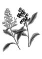 Ligustrum lucidum BYN.png