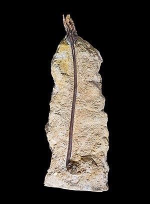 La Pointe du Chay - Liliocrinus polydactylus, from La Pointe du Chay.