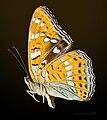 Limenitis populi MHNT Cut 2013 3 16 foret de Compiegne.jpg