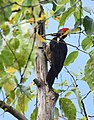 Lineated Woodpecker (24522201394).jpg