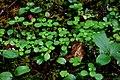 Linnaea borealis (14975905246).jpg
