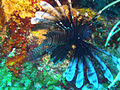 Lionfish - The reef destroyer (4905706019).jpg