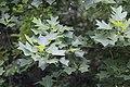 Liriodendron chinense, Hangzhou Botanical Garden 2018.06.03 15-35-46.jpg