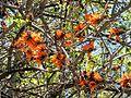 Lisbon botanical garden 16-Erythrina sp..JPG