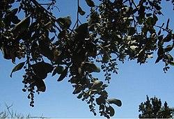 Lithrea caustica fruits.JPG
