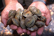 Littleneck clams; the pictured molluscs are of the species Mercenaria mercenaria.