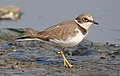 Little Ringed Plover Charadrius dubius by Dr. Raju Kasambe DSCN0971 (2).jpg