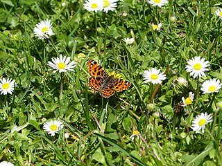 Liver-Hued Butterfly on Asters 2.jpg