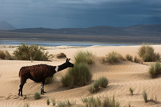 Llama, sand dunes and Tajzara.jpg