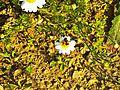 Località Fonte al Romito-vespa su fiore 1.jpg