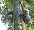 Lodoicea maldivica-Jardin botanique de Kandy (1).jpg