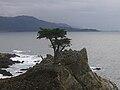 Lone Cypress Tree.JPG
