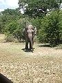 Lone elephant.jpg