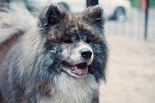 собака акита википедия