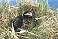 Long-tailed Duck on nest.jpg