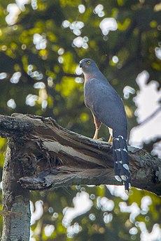 Long-tailed Hawk - Bobiri - Ghana 14 S4E3156.jpg