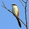 Long-tailed shrike (Lanius schach caniceps).jpg