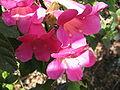 Lophospermum erubescens (Flower).jpg