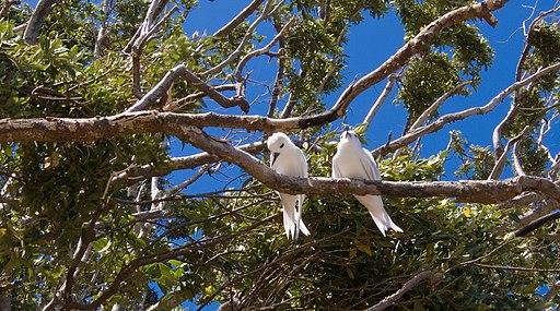 Lord Howe Island white terns