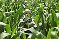 Lost in Maize - geograph.org.uk - 749456.jpg