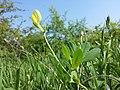 Lotus maritimus (var. siliquosus) sl31.jpg