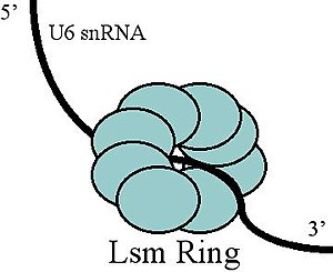 U6 spliceosomal RNA -  Lsm Binding U6 snRNA
