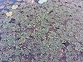 Ludwigia sedioides-4-papanasam-tirunelveli-India.jpg