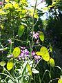 Lunaria annua sl1.jpg