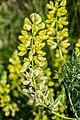 Lupinus arboreus 04.jpg