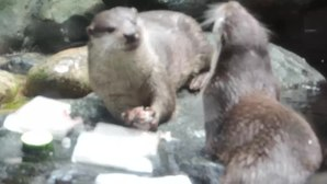 Файл:Lutra lutra eating frozen fish - Gijon Aquarium - 2015-07-02.webm