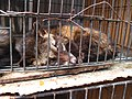 Luwak (civet cat) in cage.jpg
