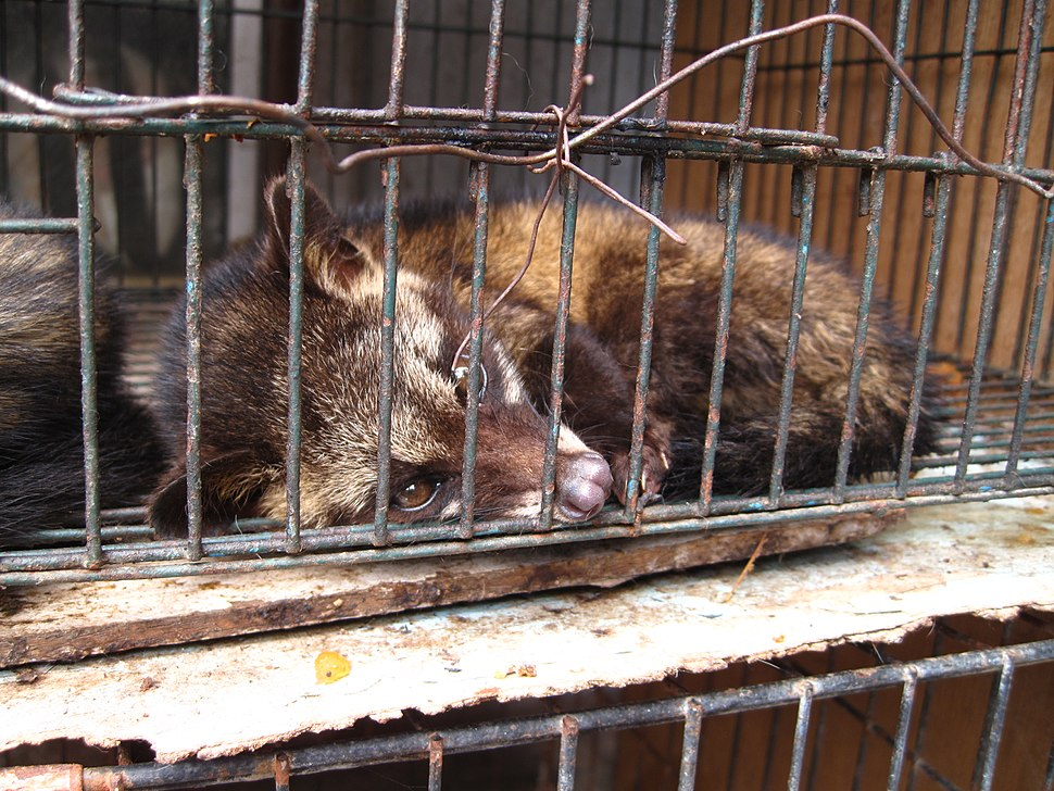 Luwak (civet cat) in cage