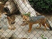 ¿Por que hay muchos therians lobos? - Página 2 180px-Lycalopex_culpaeus_culpaeus_in_the_Buin_Zoo