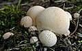 Lycoperdon pyriforme,(Pear shaped puffball (35764851454).jpg
