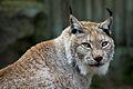 Lynx lynx - 01.jpg