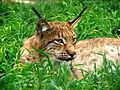 Lynx lynx in Bogazici Zoo 01155 Nevit.jpg