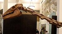 Particolare di collo e cranio di Macrauchenia