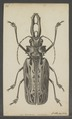Macrodontia - Print - Iconographia Zoologica - Special Collections University of Amsterdam - UBAINV0274 032 04 0023.tif