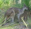 Macropus fuliginosus Glen Forrest.JPG