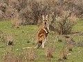 Macropus rufus (42811693200).jpg