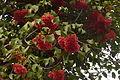 Madeira - Estreito da Calheta -Pink Ball Tree (24002569903).jpg
