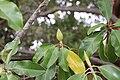 Magnolia-grandiflora-IMG 7136.jpg