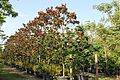 Magnolia Grandiflora (Bull Bay) (28427554873).jpg