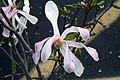 Magnolia x loebneri Leonard Messel 3zz.jpg