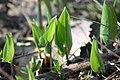 Maianthemum bifolium Oravanmarja IMG 6679 C.JPG